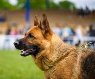愉快的狗在草甸 库存照片