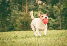 愉快的狗捉住了球玩具并且在后院草坪拿来它 库存照片