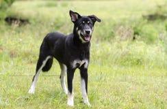 愉快的狗摇摆的尾巴,多壳的牧羊人混合了品种狗,宠物抢救收养摄影 免版税图库摄影