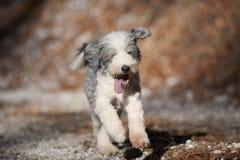 愉快的狗有胡子的大牧羊犬赛跑 免版税库存照片