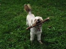 愉快的狗用棍子 库存照片