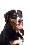 愉快的狗 库存照片