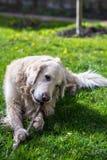 愉快的狗 库存图片