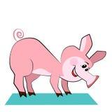 愉快的猪实践的瑜伽姿势。 库存图片