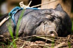 愉快的猪黑色 免版税图库摄影