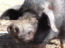 愉快的猪 免版税库存照片