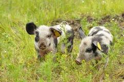 愉快的猪 免版税图库摄影