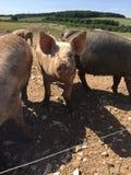 愉快的猪 免版税库存图片
