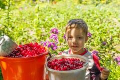 愉快的男孩吃新近地被采摘的樱桃 免版税图库摄影