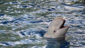 愉快的白海豚 库存照片