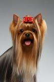 愉快的约克夏狗狗特写镜头画象在白色的 图库摄影