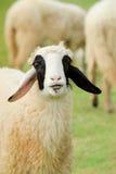 愉快的绵羊微笑 免版税库存图片