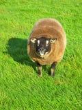 愉快的绵羊 免版税库存照片