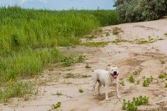 愉快的美洲叭喇狗,微笑狗面孔,美国斯塔福德郡狗 自然沙子海滩背景 库存照片