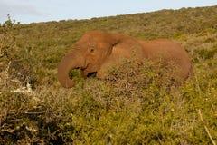 愉快的肚子是充分的非洲布什大象 免版税库存照片