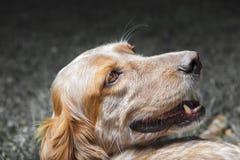 愉快的英国塞特种猎狗 免版税图库摄影
