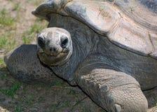 愉快的草龟 库存图片