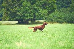 愉快的跑在草的狗爱尔兰人的特定装置在夏天 免版税库存图片