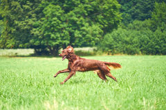 愉快的跑在草的狗爱尔兰人的特定装置在夏天 库存图片