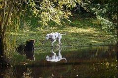 愉快的达尔马希亚狗在水中使用 库存照片