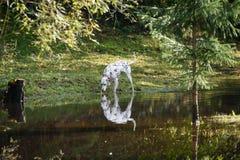 愉快的达尔马希亚狗在水中使用 免版税库存照片