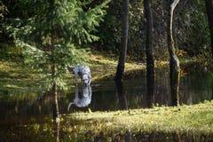 愉快的达尔马希亚狗在水中使用 库存图片