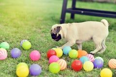愉快的逗人喜爱的哈巴狗 免版税库存图片