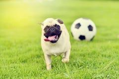 愉快的逗人喜爱的哈巴狗 免版税库存照片