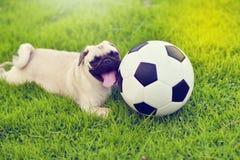 愉快的逗人喜爱的哈巴狗 免版税图库摄影
