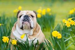 愉快的逗人喜爱的英国牛头犬狗在春天领域 免版税库存照片