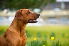 愉快的逗人喜爱的rhodesian ridgeback狗在春天领域 免版税库存图片