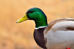愉快的野鸭在一个冬日 免版税库存图片