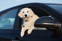 愉快的金毛猎犬小狗在车窗里 免版税库存图片