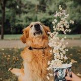 愉快的金毛猎犬狗用飞行玉米花 公园在背景中 库存图片