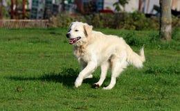 愉快的金毛猎犬赛跑 免版税图库摄影