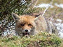 愉快的镍耐热铜(狐狸狐狸)暗藏和 图库摄影