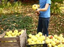 愉快的青春期前的男孩采从树的苹果 免版税库存照片