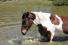 愉快的马游泳 免版税库存图片