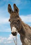 愉快的驴 免版税库存照片