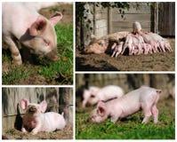 愉快的高小猪解决方法 库存照片