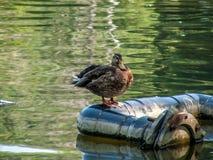 愉快的鸭子 免版税库存图片