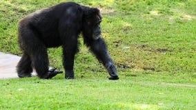 愉快的黑猩猩 库存图片