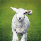 愉快的绵羊 库存图片