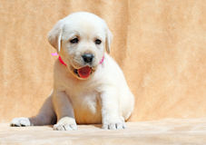 愉快的黄色拉布拉多小狗画象关闭 免版税库存图片