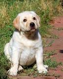 愉快的黄色拉布拉多小狗画象在庭院里 免版税库存图片