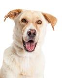 愉快的黄色拉布拉多狗杂种特写镜头  库存照片