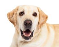 愉快的黄色拉布拉多狗特写镜头 免版税库存图片