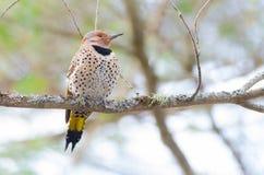 愉快的黄色有羽轴的忽悠-在春天树枝的Colaptes auratus 免版税库存图片