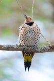 愉快的黄色有羽轴的忽悠-在春天树枝的Colaptes auratus 免版税库存照片