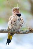 愉快的黄色有羽轴的忽悠-在春天树枝的Colaptes auratus 库存图片